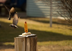 (Miranda Marlow) Tags: birds corn feeding flight