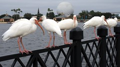 (MrDizneyKing) Tags: world street vacation bird art animal orlando epcot florida crane disneyland magic main kingdom disney mickey disneyworld hollywood studios walt fantasyland mrdizneyking