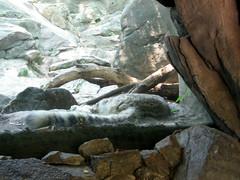 Sleeping snow leopard (Coyoty) Tags: sleeping wild ny newyork nature animal fauna cat mammal zoo furry feline bronx slumber wildlife tail leopard bigcat bronxzoo spotted predator captive habitat animalplanet snowleopard carnivore snoozing