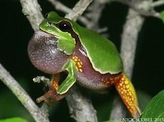 Pine Barrens Treefrog (Nick Scobel) Tags: new tree pine frog jersey species endangered barrens treefrog hyla threatened andersoni