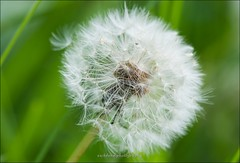 Pretty, soft, tempting dandelion - Macro (eschborn.photography) Tags: green nature nikon bokeh background natur micro nikkor taraxacum lwenzahn pusteblume officinale gewhnlicher d7100 eschborneschbornphotography