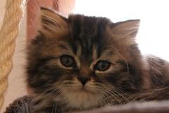 IMG_4386 (Miiaou) Tags: portrait chaton persan