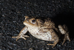 Common Toad- Bufo bufo (Scaly Face Photography) Tags: amphibian toad british bufo