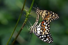 Moment of passion (Rene Mensen) Tags: set butterfly zoo nikon pair paar passion moment drenthe emmen vlinder pairing noorder dierenpark stel paren vlindertuin d5100 mygearandme mygearandmepremium mygearandmebronze mygearandmesilver mygearandmegold mygearandmeplatinum mygearandmediamond