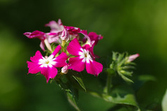 Lill (Jaan Keinaste) Tags: flower estonia pentax eesti lill k7 pentaxk7