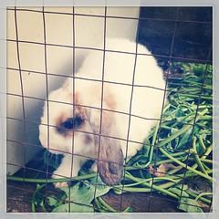 กระต่ายแคระ!