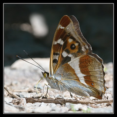 Purple Emperor (more images below) (Full Moon Images) Tags: park macro male nature butterfly insect woods purple forestry wildlife country commission emperor fermyn