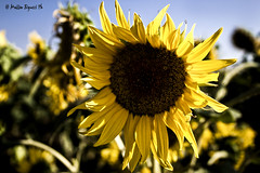 sunflower (Matteo Biguzzi [bigu77]) Tags: park travel flowers trees friends summer vacation sky italy parco sun green water yellow skyline canon relax sunflower picnik canon1855 eos500d
