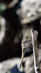 Orthtrum rticul? (Stilgar33) Tags: macro bug insect nikon dragonfly 105 nikkor vr libellule d5100