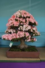 Blooming bonsai (stekler) Tags: japan tokyo ueno blossom sakura hanami uenopound