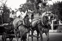 Belgian horse team (Jen MacNeill) Tags: horses blackandwhite bw horse team pennsylvania pa civilwar lancaster belgian lancastercounty cavalry reenactor equine workhorse drafthorse landisvalleymuseum jennifermacneilltraylor jmacneilltraylor jennifermacneill jennifermacneillphotography