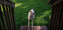 Smiling at the Bottom of the Steps (DiamondBonz) Tags: dog pet smile steps hound whippet spanky dogchal