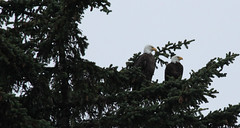 Two Bald Eagles (Miles Gilbert) Tags: canada tree nature animals wildlife vancouverisland tofino wildanimal eagles baldeagles thewonderfulworldofbirds