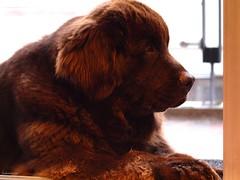 Sleepy boy (Zudzowne) Tags: bear dog brown cute newfoundland colombia bogota sweet olympus sleepy e30 mozes zudzowne patrickbeintema