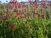 "Autumn Sage Pink • <a style=""font-size:0.8em;"" href=""http://www.flickr.com/photos/101656099@N05/9733562277/"" target=""_blank"">View on Flickr</a>"