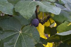 DSC_3383 (Michele d'Ancona) Tags: italy italia day frutta ancon marche ancona fico giorno verdura frutto fruttaeverdura ankon