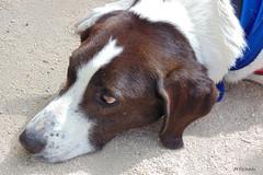 009015 - Perro (M.Peinado) Tags: españa dog dogs animal spain sony perro perros animales fuenlabrada comunidaddemadrid 2013 ccby parquedelasolidaridad 13092013 sonydsch200 septiembrede2013 festivalcaninoydelaadopción