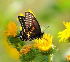Swallowtail (Ruthie Kansas) Tags: fall butterfly swallowtail 2013 cheyennebottoms