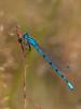Gemeine Becherjungfer Enallagma cyathigerum (alustar99 - offline) Tags: mecklenburgvorpommern müritz enallagmacyathigerum müritznationalpark gemeinebecherjungfer feisnecksee