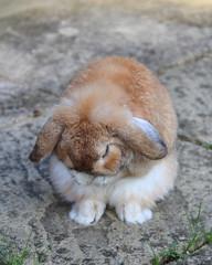 Jenson Bunny (Sarah H Bennett) Tags: pet rabbit bunny washing
