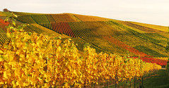 Autumn Vineyard (Habub3) Tags: travel autumn holiday fall nature colors canon germany deutschland vineyard search reisen stitch urlaub herbst natur vine powershot vacanze wein weinberg
