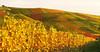 Autumn Vineyard (Habub3) Tags: travel autumn holiday fall nature colors canon germany deutschland vineyard search reisen stitch urlaub herbst natur vine powershot vacanze wein weinberg g12 beutelsbach serach 2013 weinstadt habub3