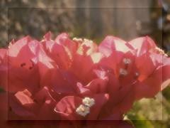 Red Bougainvillea in November (pratolina17) Tags: flowers vintage novembre oldstyle bouganvillea fiori autunno petali bouganville softcolors pastelcolors fioritura dantan fiorirossi brattee coloridautunno fioridautunno vision:sunset=0557