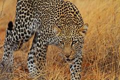 On the prowl! (Rainbirder) Tags: kenya samburu africanleopard pantherapardus rainbirder
