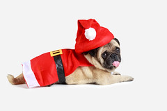 Cute pug puppy wearing a santa claus costume, Isolated over white (Patrick Foto ;)) Tags: santa christmas new xmas winter red portrait dog pet baby brown white holiday cute face wearing hat animal closeup puppy studio festive season happy costume funny december sitting looking background year seasonal joy young adorable pug canine bulldog cap gift doggy greetings concept copyspace merry isolated laying purebred