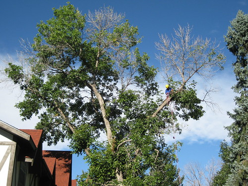 Photo - Crown Dieback in large ash tree