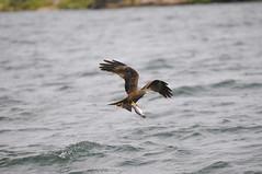 Fishing in the Lake Victoria (xhunter83) Tags: lake bird water lago kenya wildlife wildanimal kenia lakevictoria birdwatcher abigfave