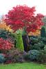 Autumn red foliage of Acer palmatum 'Osakazuki' (Four Seasons Garden) Tags: uk autumn red england leaves garden four seasons foliage acer fiery walsall palmatum osakazuki fourseasonsgarden