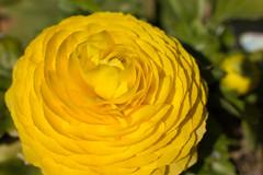 _DSC0789.jpg (d3_plus) Tags: life flowers food flower japan lunch nikon bloom   kanagawa kawasaki thesedays    nikon1 theseday 1nikkor 1nikkor185mmf18 nikon1j3 1nikkor18mmf18 nikon1 j3 1nikkorvr10100mmf456