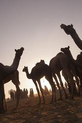 Pushkar - evening camels (Mitesh Kothari) Tags: sky people sun yellow evening sand villages pushkar camels rajasthan ajmer raise goback