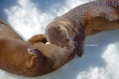 Lovers (A. Shamandour) Tags: eye look animal photography photo head sleep lovers otter syria damascus mustelidae subfamily lutrinae shamandour