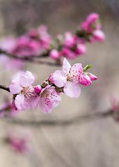 oxford-2-260214 (Snowpetrel Photography) Tags: flowers trees winter blossom oxford cherryblossom smcpm120mmf28 pentaxk5