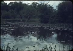 Arnold Arboretum, Boston, c1943 (Rob Ketcherside) Tags: park boston pond arboretum 1940s ww2 lillypad wartime