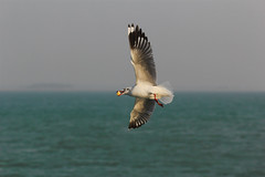 Sea Gull, St. Martin Island () Tags: sea food bird canon flying seagull gull feed bangladesh coxsbazar canon70200lf4 canon60d stmartinisland naffriver anisuzzaman anisuzzamanrussell
