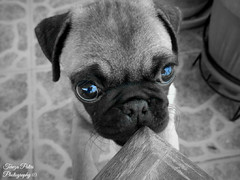 My cookie (Terezaki ) Tags: bw dog love animal photography zoo photo eyes cookie searchthebest live pug athens pugs mop pictureperfect mops puppie naturesfinest 100faves 50faves 100favs 140favs anawesomeshot flickrdiamond theperfectphotographer