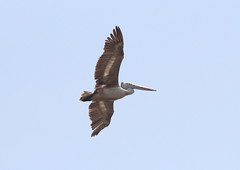 Pelican (frankyjr) Tags: bird nature animals canon wildlife sigma pelican chennai pallikaranai