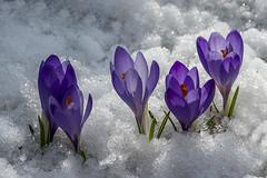 L'ultima neve di primavera (Clikkets ) Tags: snow macro nature natura crocus neve fiori appennino d800 appenninotoscoemiliano appennini crocchi