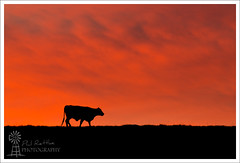 Cow Silhouette (Phil Rettke) Tags: sunset red silhouette cow cattle dusk australian australia moo valley bovine lockyer