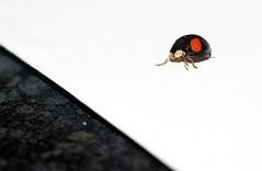Lady bird (Stephen_Holt) Tags: red white black macro bug eyes legs sony spots ladybird marble