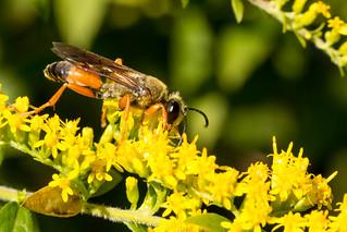 Sphex ichneumoneus - Great Golden Digger Wasp