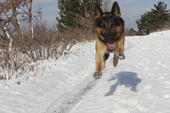 Flying dog... (Fren_pt) Tags: schnee winter dog white snow dogs nature animal animals cane fly flying volo hund neve inverno bianco cani volare