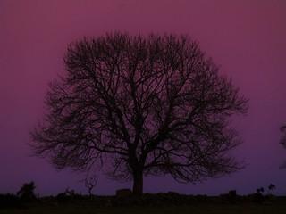 Belt of Venus -Tree..x
