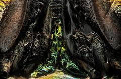 Emerald Ash Borer Panoramic 50x Crop (Macroscopic Solutions) Tags: trees macro photography close micro ash macropod biology microscope animalia arthropoda eab jewel coleoptera insecta pterygota emeraldashborer buprestidae polyphaga agrilus ashtrees taxonomy:class=insecta taxonomy:kingdom=animalia taxonomy:order=coleoptera taxonomy:phylum=arthropoda taxonomy:subclass=pterygota taxonomy:suborder=polyphaga microkit buprestoidea agrilusplanipennis taxonomy:family=buprestidae taxonomy:genus=agrilus emeraldash taxonomy:superfamily=buprestoidea taxonomy:binomial=agrilusplanipennis macroscopicsolutions taxonomy:species=planipennis taxonomy:common=emeraldashborer
