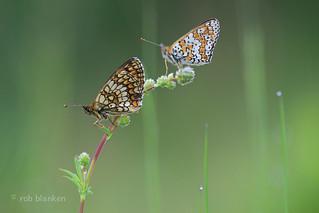 Heath Fritillary and Glanville Fritillary (Melitaea athalia and Melitaea cinxcia, bosparelmoervlinder en veldparelmoervlinder)