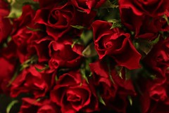 These aren't just any roses... (ali_e_lloyd) Tags: flowers red roses love canon valentine romance canondslr canoneos canonphotography canoneos500d