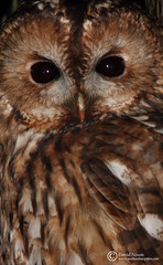Tawny Owl, Strix aluco (Midlands Reptiles & British Wildlife Diaries) Tags: macro closeup shot head hunting headshot mice rats owl rodents tawny voles strixaluco